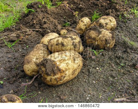 Just potatoes dug from the ground lying on the garden of the villa