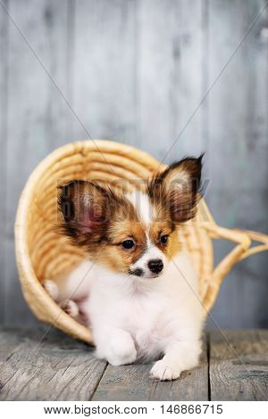 Small puppy in a wicker basket on a wooden background