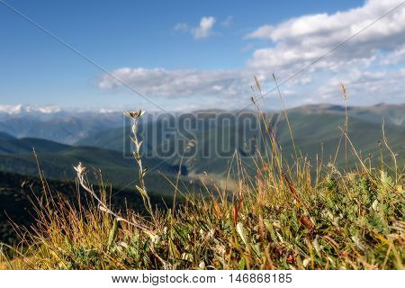 Beautiful floral background with delicate flower edelweiss growing in the highlands on the background of snowy mountains blue sky and clouds