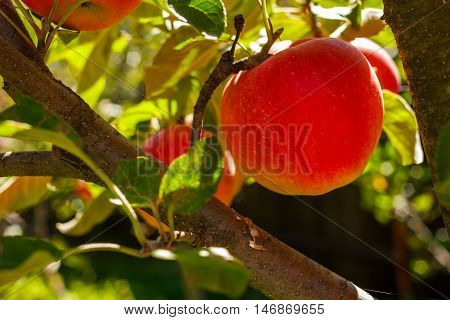 Red Apple Hanging On Tree