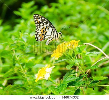 One monarch butterfly on yellow flower in garden.