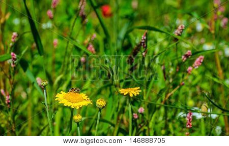 Colorful flowering seeded plants in a field edge in the Netherlands for the purpose of promoting biodiversity. A bee enjoys the nectar on the yellow flower.