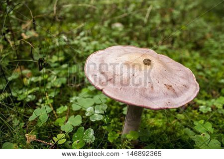Death Cap Fungi - Amanita phalloides Growing in the grass at summer forest