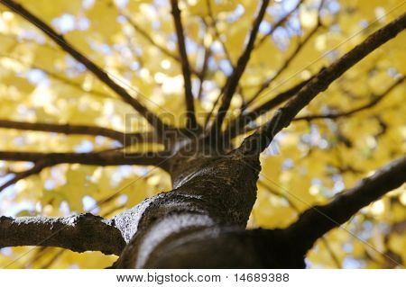 Fall Foliage Photographed Up Trunk