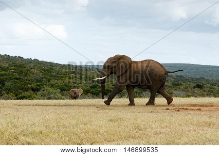 African Bush Elephant Run