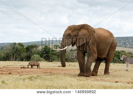 Take A Photo Of Me The African Bush Elephant