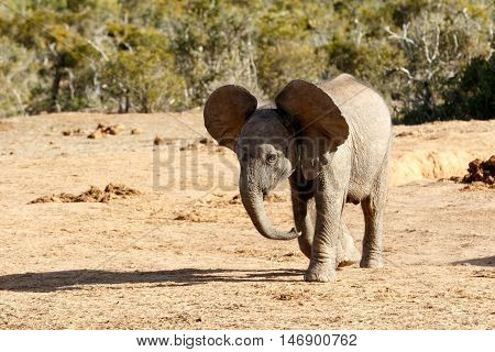 African Bush Elephant With Huge Ears