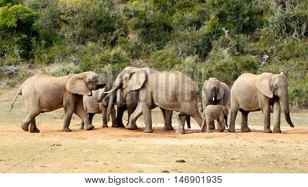 Mine Is Big And Yours Is - The African Bush Elephant