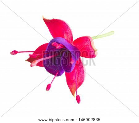 Fuchsia single flower isolated on white background