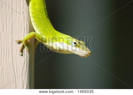 Green Anole Anolis Carolinas Reptile Lizard Texas