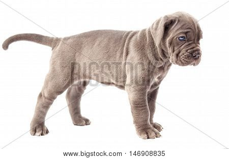 Beautiful young gray puppy italian mastiff cane corso (1 month) on white background