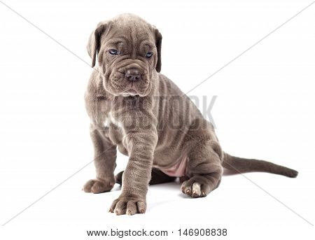Beautiful young puppy italian mastiff cane corso (1 month)