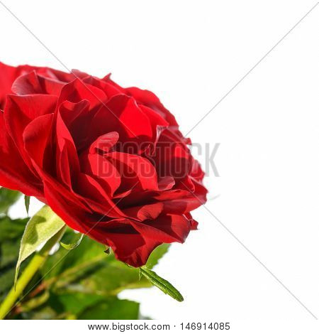 close up of beautiful red roses isolated on white background