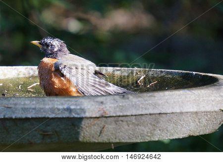 Robin red breast bird taking a bath in a bird bath