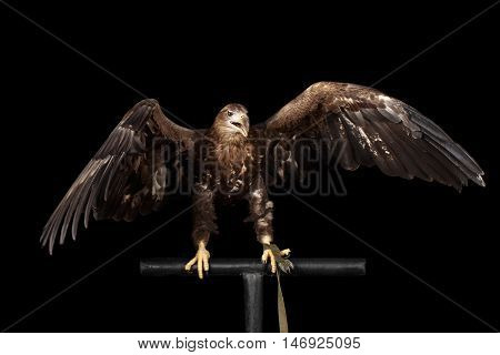 White-tailed eagle Sitting on perch and Scream, Spread wings, Birds of prey isolated on Black background