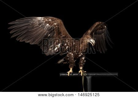 White-tailed eagle Sitting on perch and Spread wings, Looking at right Birds of prey isolated on Black background