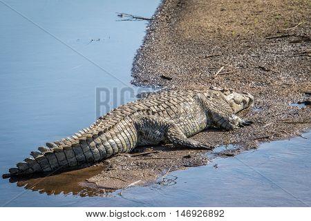 Crocodile Sunbathing Next To The Water.