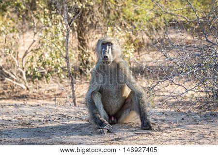 Baboon Starring At The Camera.