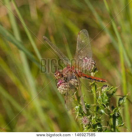 Side view of a Red Veined Darter Dragonfly resting on the head of a thistle bud.