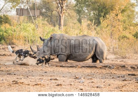Two African Wild Dogs With A White Rhino.