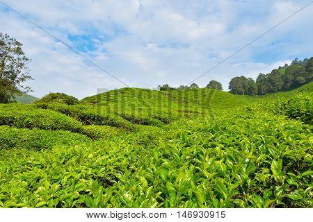 tea plantation landscape at Cameron highlands, Malaysia