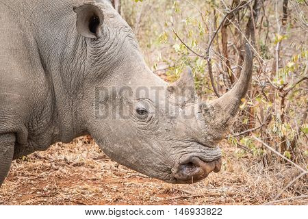 Side Profile Of A White Rhino.