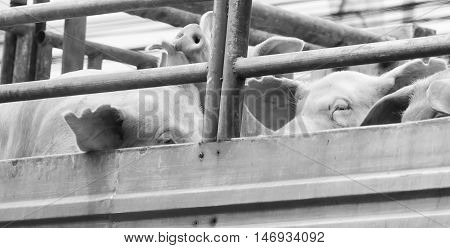 Pigs On Truck Way To Slaughterhouse For Food. The Sad Sight Of Pigs.