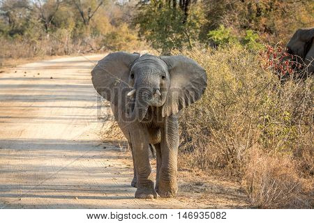 A Young Elephant Walking Towards The Camera.