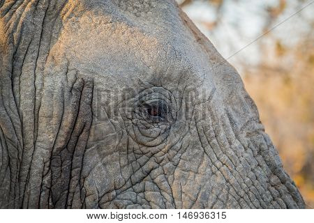 Close Up Of The Eye Of An Elephant.