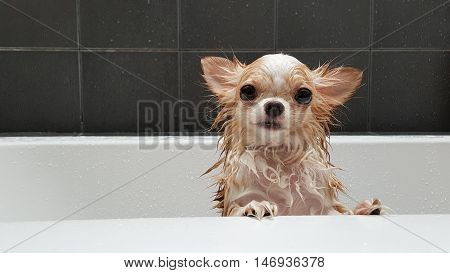 Small Cute Brown Chihuahua Dog Waiting In The Tub After Taking A Bath In Bathtub.