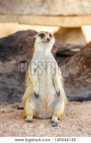 Portrait of meerkat on the rock with nature frame