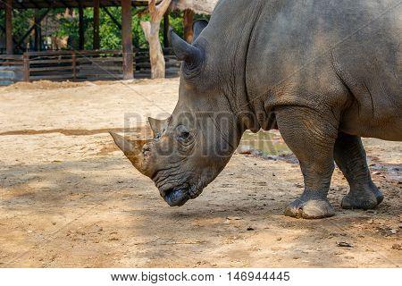 White rhinoceros Diceros simus single mammal head shot South Africa