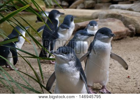 Little Black and White Penguins (Eudyptula minor) Marching, the smallest of all Penguin species