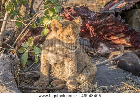 Lion Cub At A Buffalo Kill.