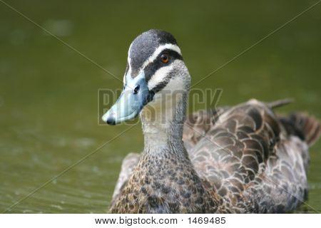 Green Duck Head