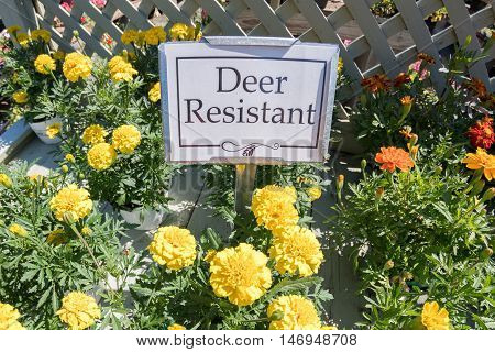 Deer Resistant Flowers Yellow With Sign For Sale