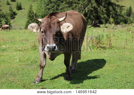 Cattle on the Meadow in Lechtal Valley. Tirol. Austria