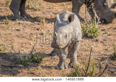 Curious Little Baby White Rhino.