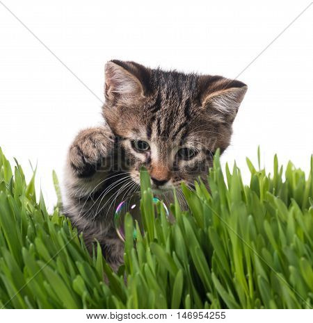 Cute little kitten in the bright green grass isolated over white background