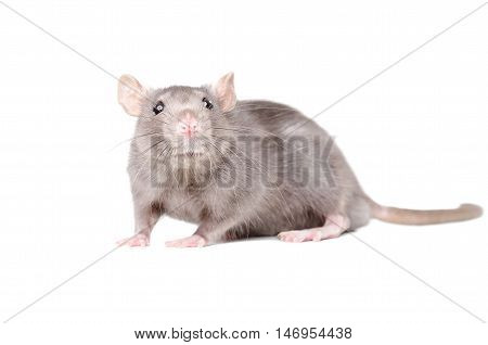 Portrait of funny gray rat isolated on white background