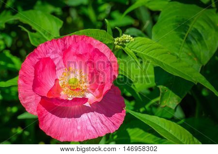 Closeup of a dark pink flowering poppy plant between other wild vegetation in a sunny field edge in summertime.