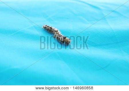 Hairy Caterpillar, Tiger