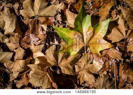 Autumn Colorful Leaves In Catalonia