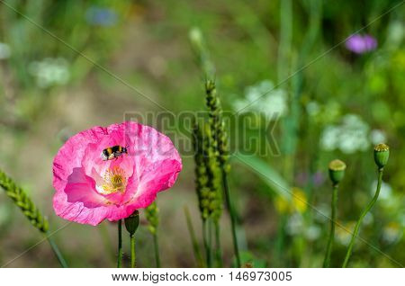 Closeup of a bumblebee loaded with pollen in its pollen baskets flying away from a pink flowering poppy plant between other wild vegetation in a sunny field edge in summertime.