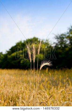 Macro of ripe ear on farmland background