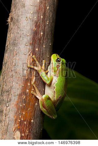 Macro of European tree frog Hyla arborea at night in natural environment