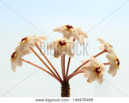 Macro of wax plant (Hoya Carnosa) flower over blue sky background