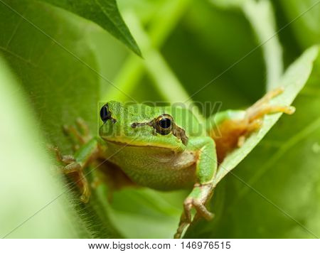 Macro of tree frog peeking out from behind the leaves