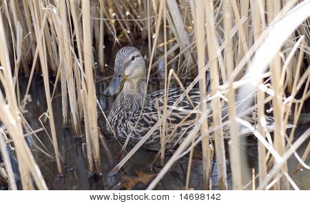 Hiding In The Reeds