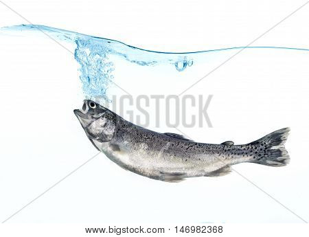 trout in water on white background .